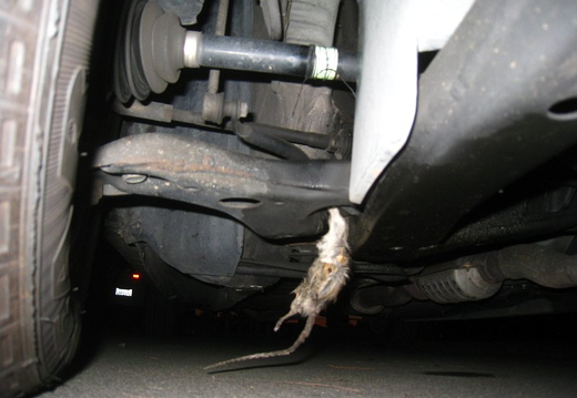 rat stuck in car